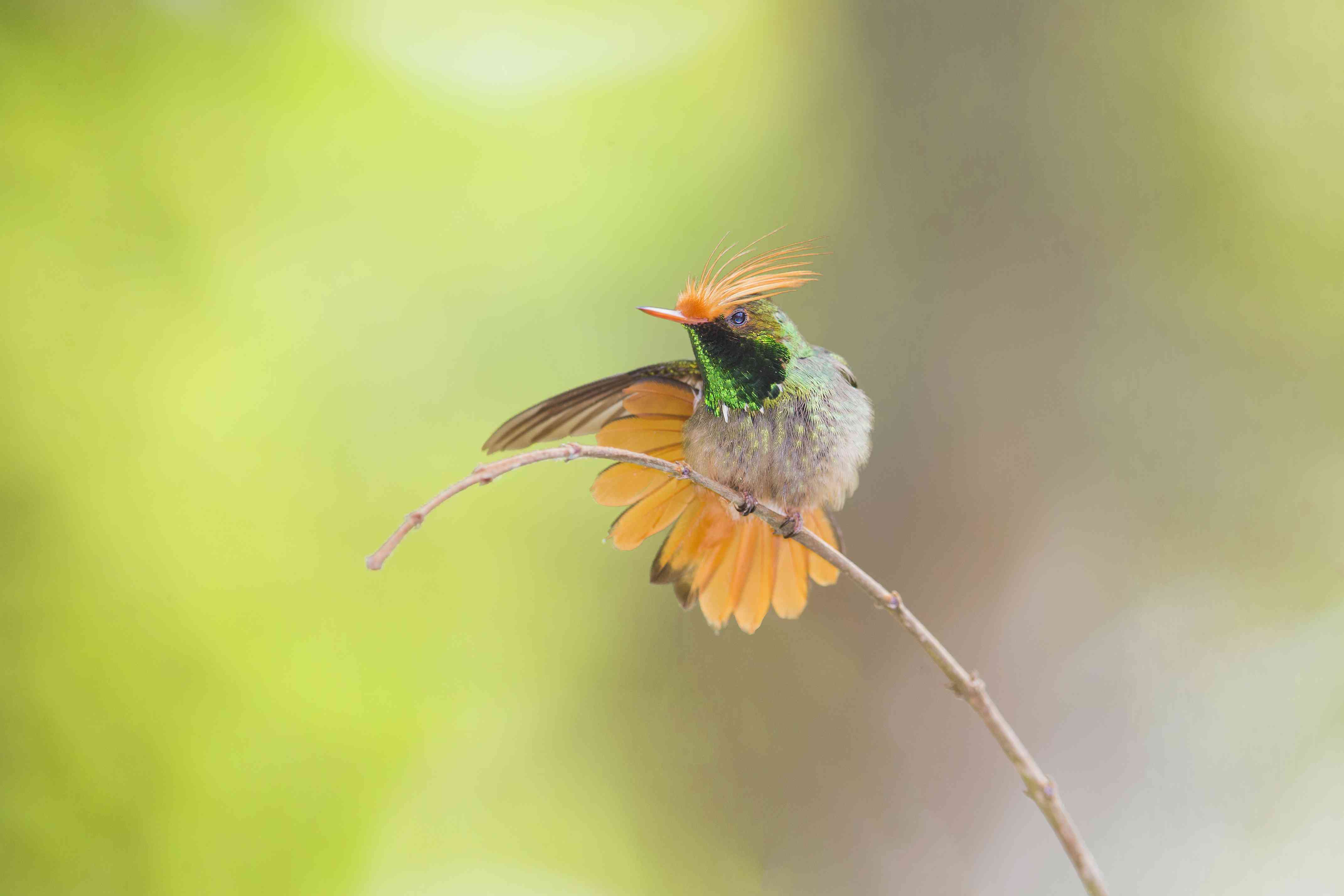 Rufous-crested coquette hummingbird sitting on a twig
