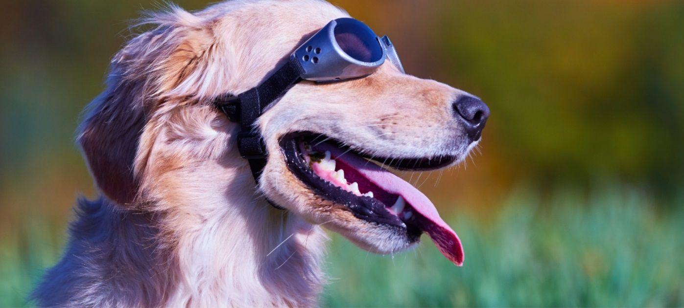 golden retriever dog wearing sunglasses