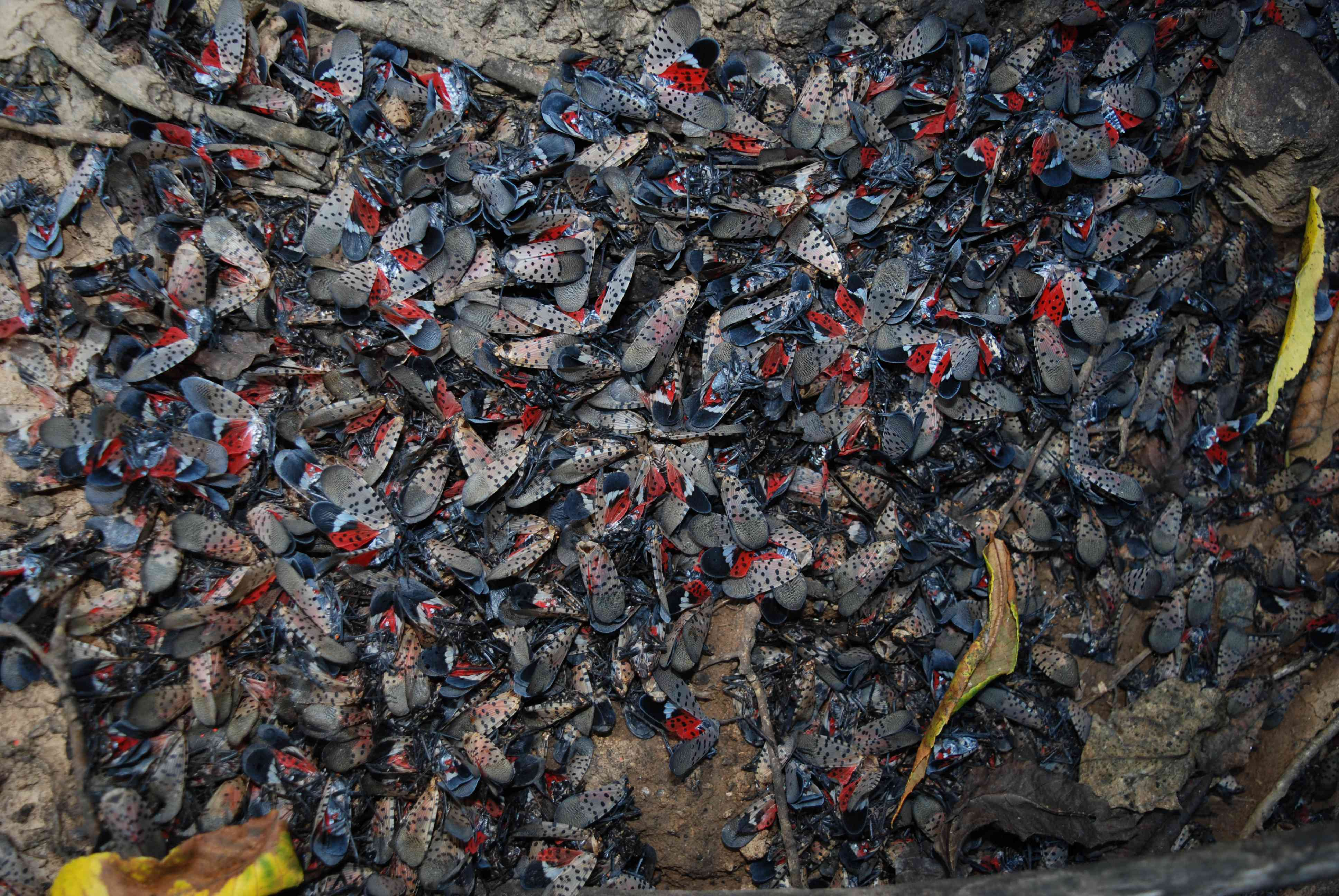 mass of adult spotted lanternflies