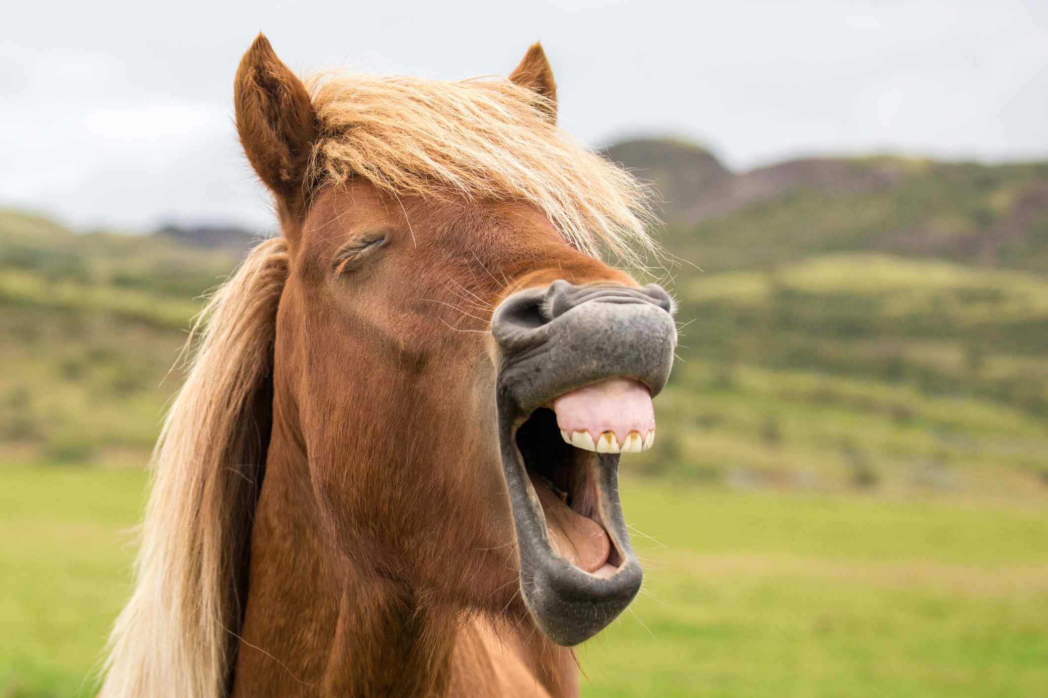 close up of horse face with mouth open showing small teeth