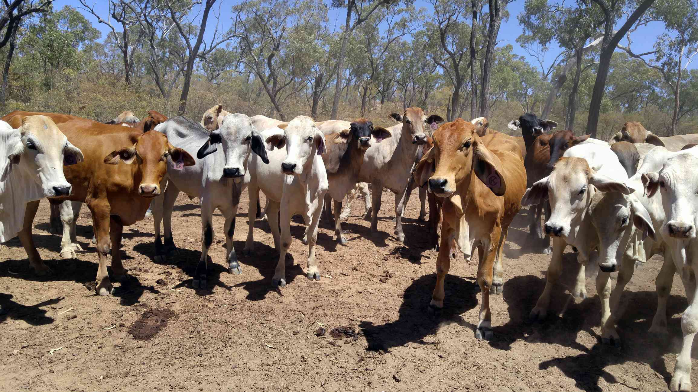 Beef Cattle in overgrazed area