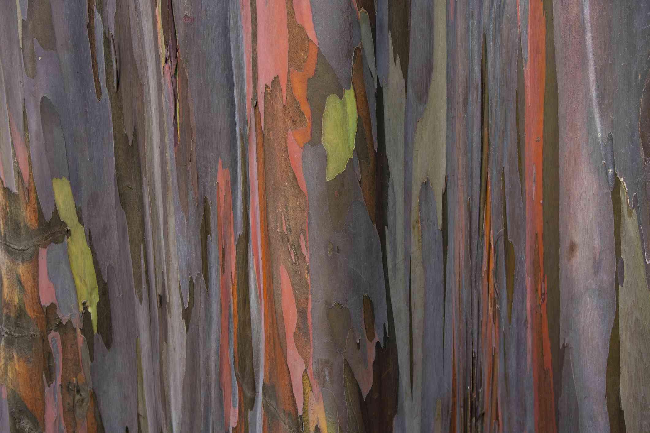 Rainbow Eucalyptus bark abstract