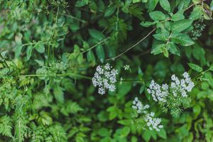 queen anne's lace or wild carrot grows outside with small white blooms