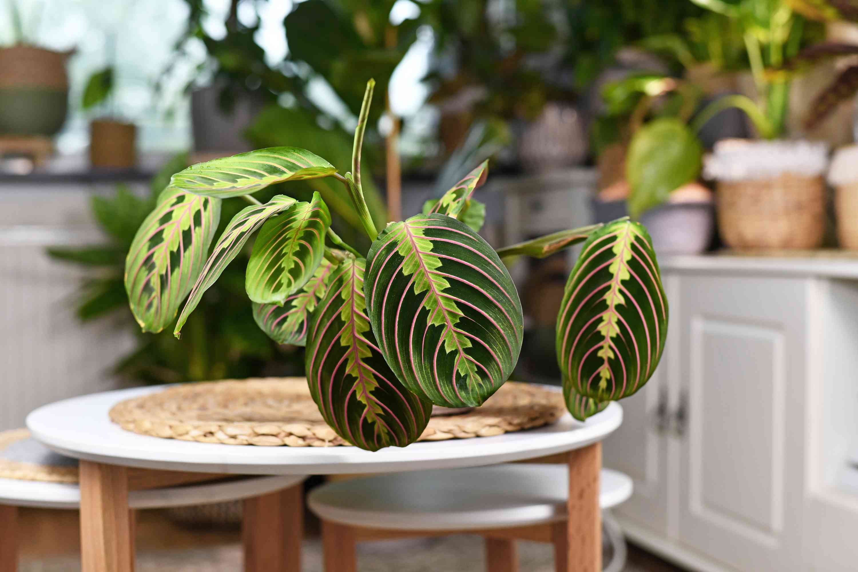 Tropical 'Maranta Leuconeura Fascinator' houseplant with leaves with exotic red stripe pattern on table