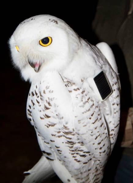 tagged snowy owl
