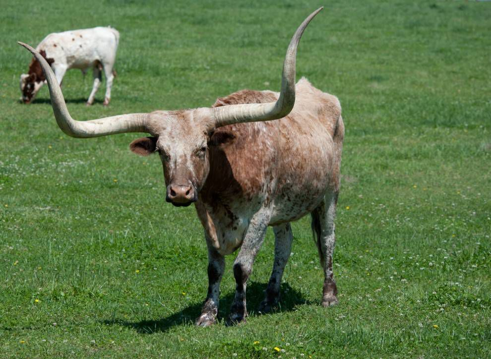 brown and white spotted texas longhorn cow in grass