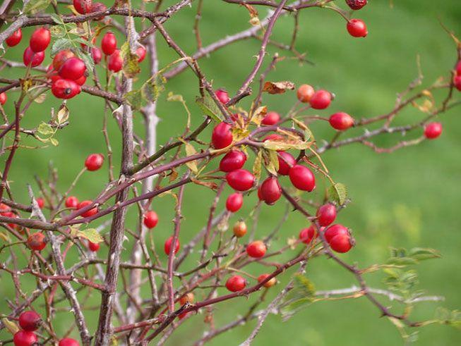 Rose hip fruit