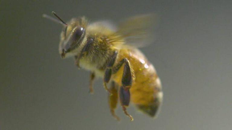 Video en cámara superlenta proyecta a las abejas bajo una nueva luz