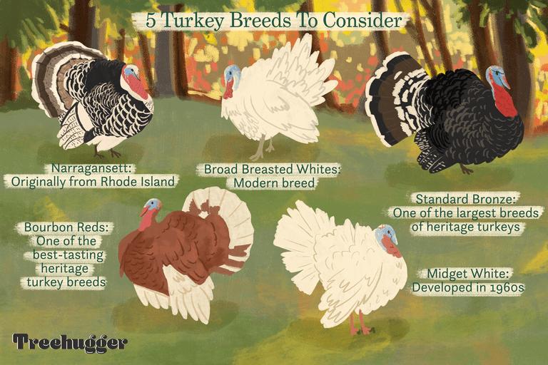 5 turkey breeds to consider