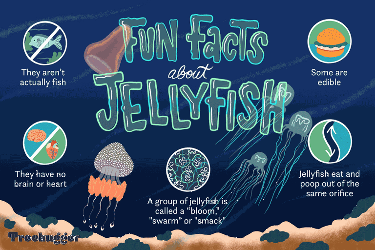 fun facts about jellyfish illo