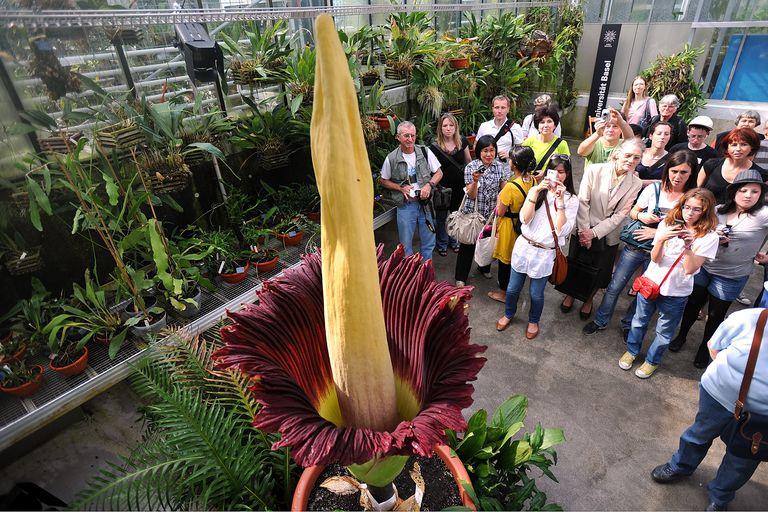 Giant Titan Arum Flower Blooms In Basel