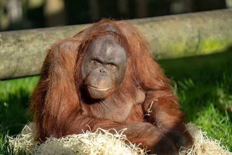 An obese orangutan named Oshine sitting in the sun.