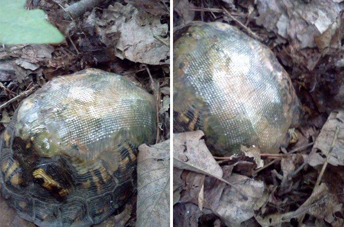 El veterinario se reúne con la tortuga años después de salvarla