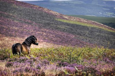 An Exmoor pony with a flowing mane stands in a field of heather