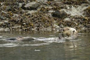 An otter swimming in an oil spill.