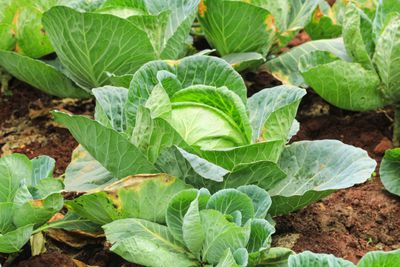 fully grown cabbages in garden outside