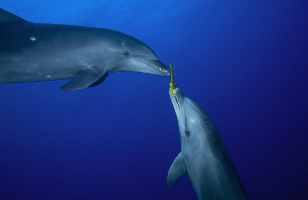 two dolphins, one of which is holding a sponge in its mouth