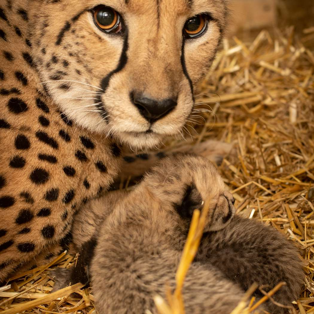 Izzy the cheetah snuggles with her cubs at the Columbus Zoo