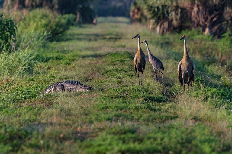 Un pájaro avergüenza a un cocodrilo en un campo de golf