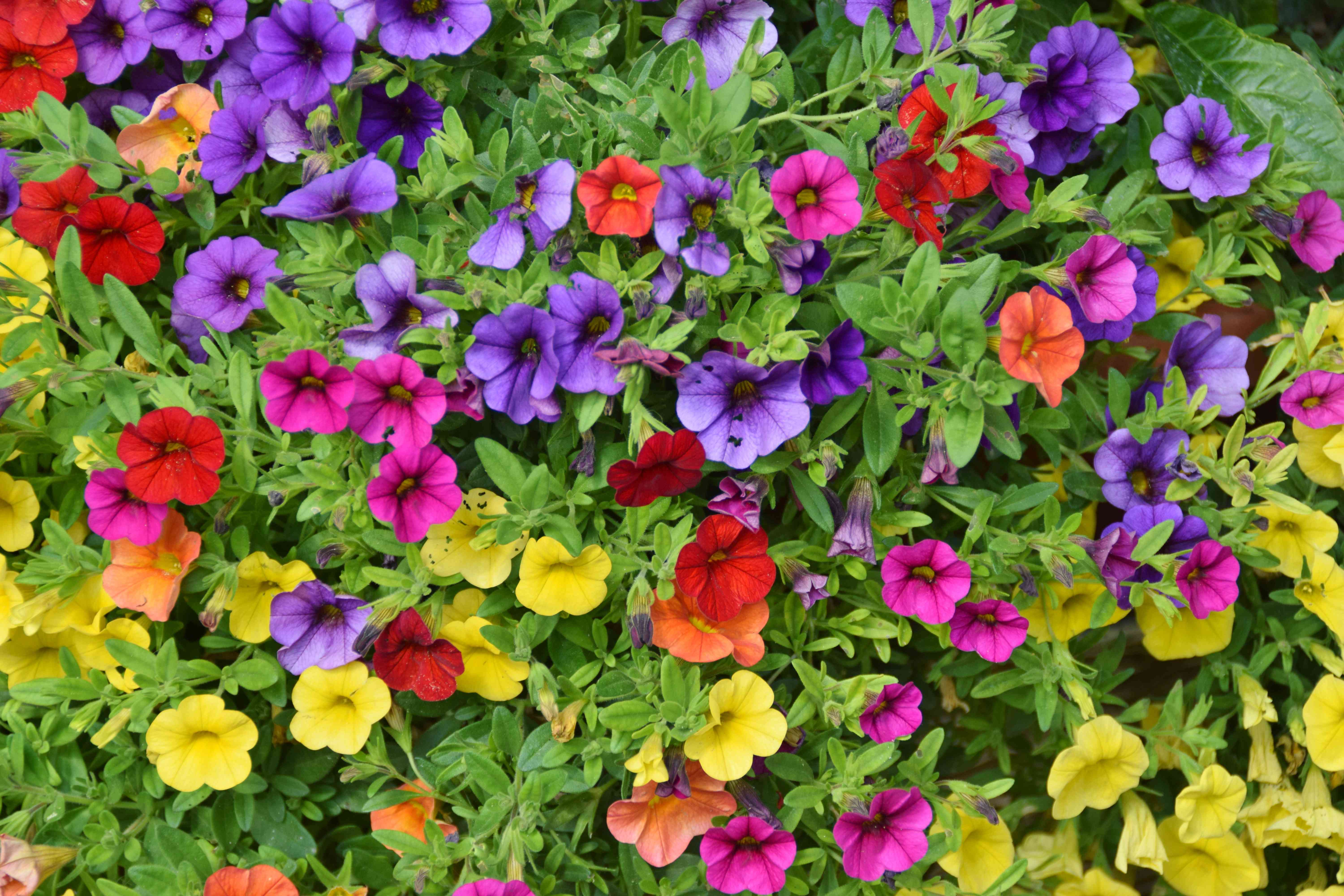 petunias of different colors