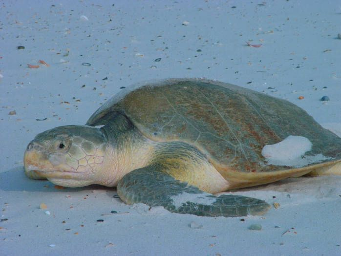 Green Kemp's ridley sea turtle resting in the white sand