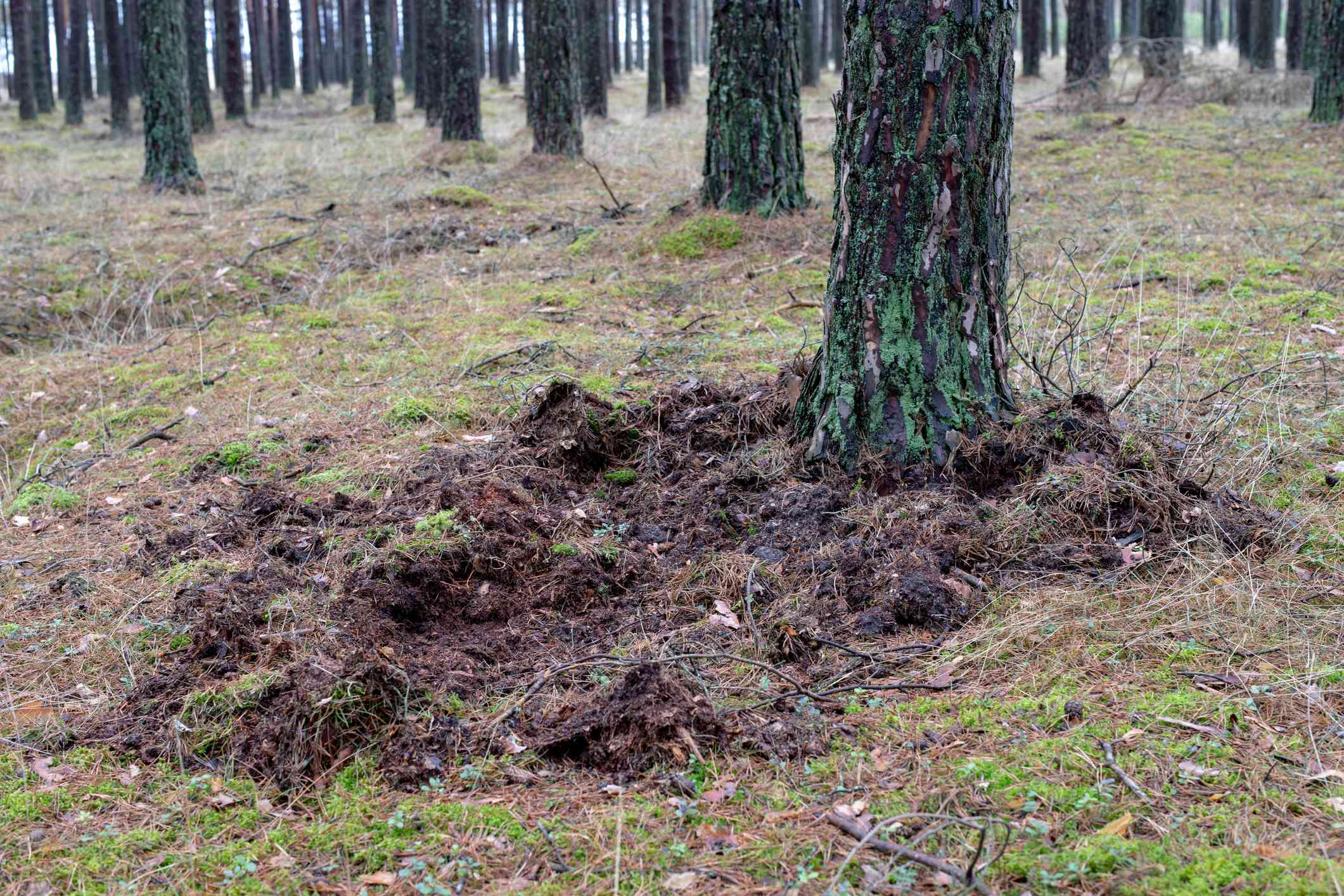 Traces of wild boar on a forest road
