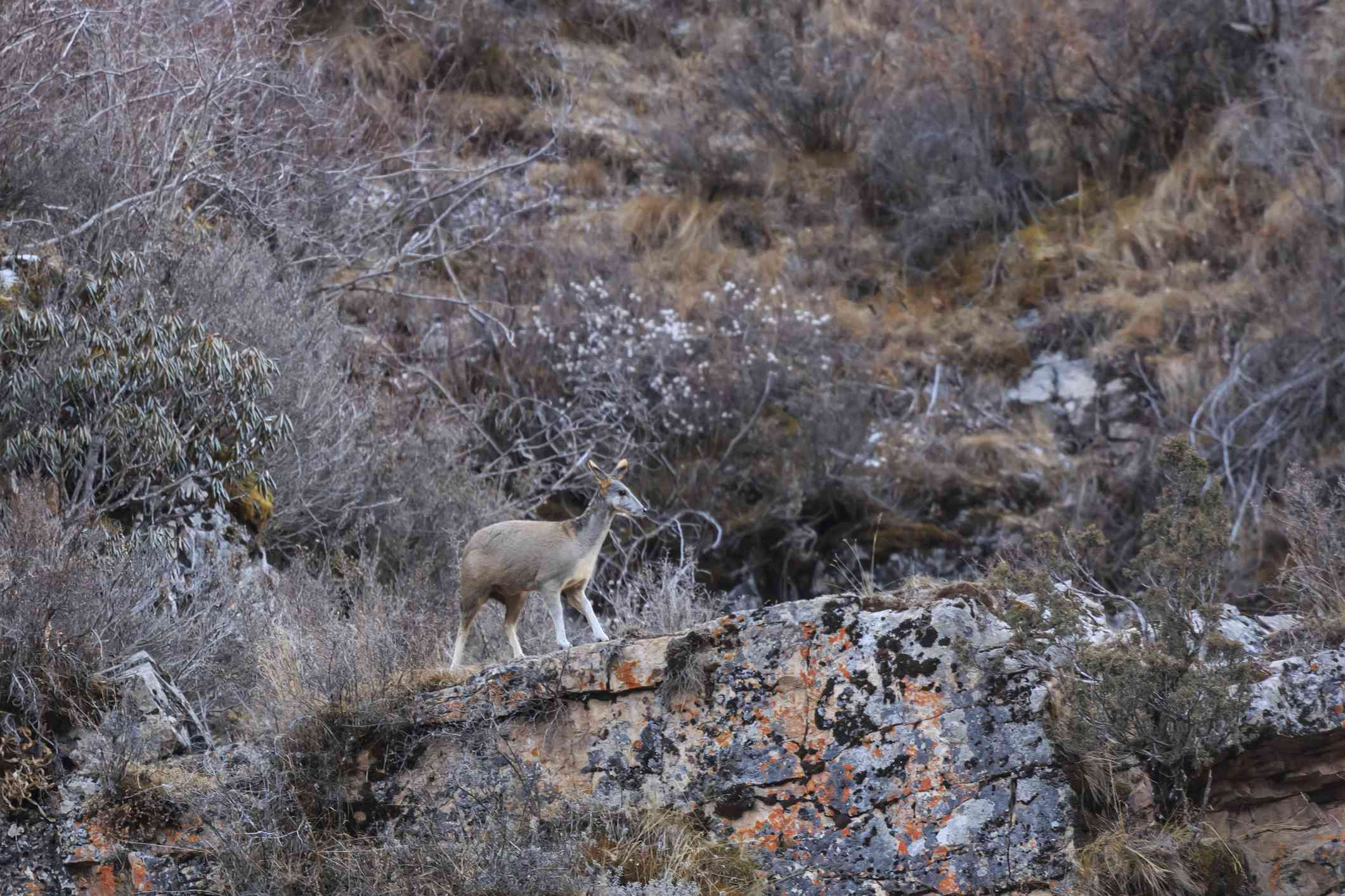 A Himalayan musk deer on a rocky mountainside covered by brown and gray scrub vegetation..
