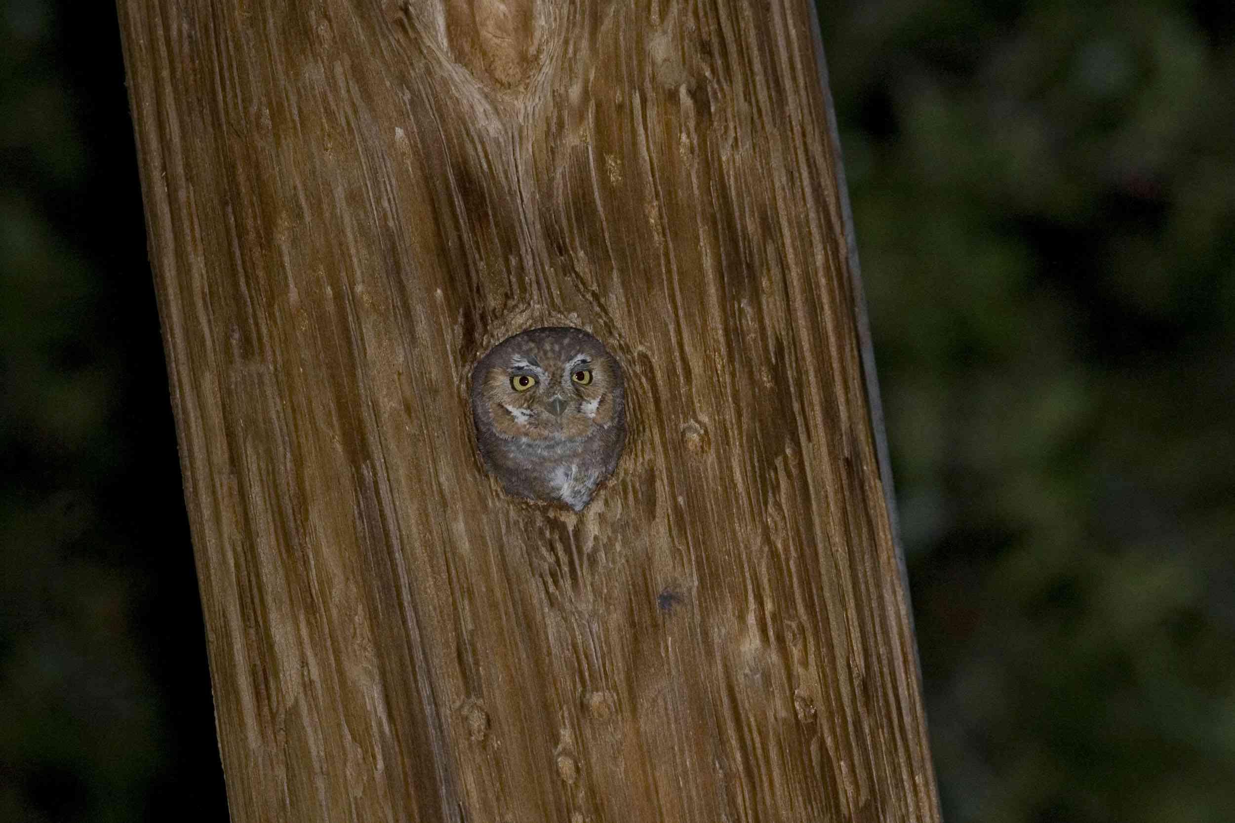 elf owl in a woodpecker hole