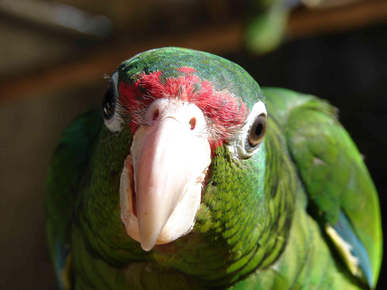 Puerto Rican Parrot / Cotorra Puertorriqueña / Scientific name: Amazona vitatta vitatta