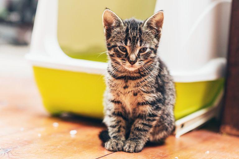 kitten in front of a litter box