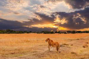 Lioness standing in the African savanna at sunset.