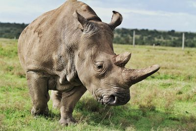 A northern white rhino in Kenya, Africa
