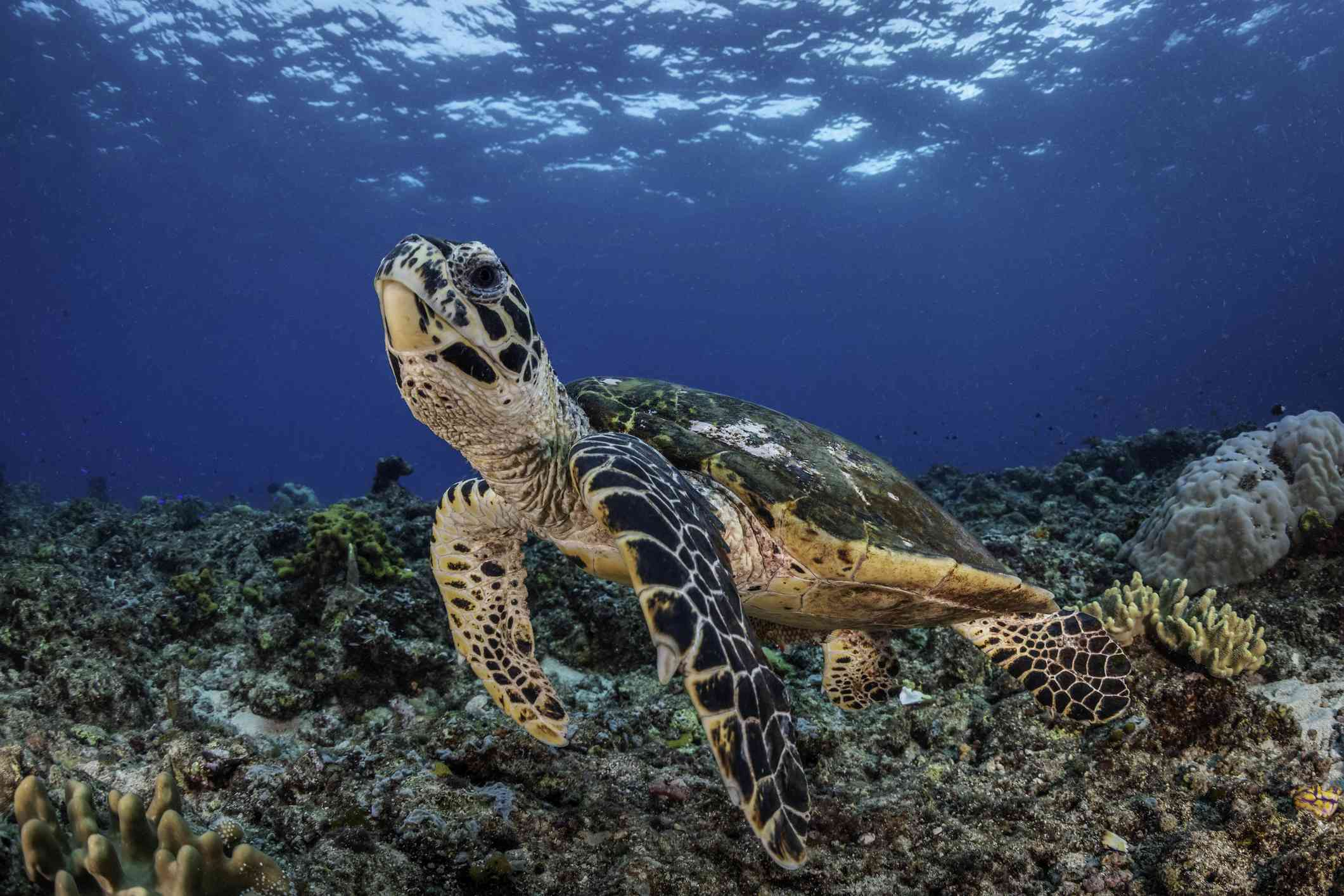 Green and white Hawksbill turtle swimming over the coral reef in the ocean