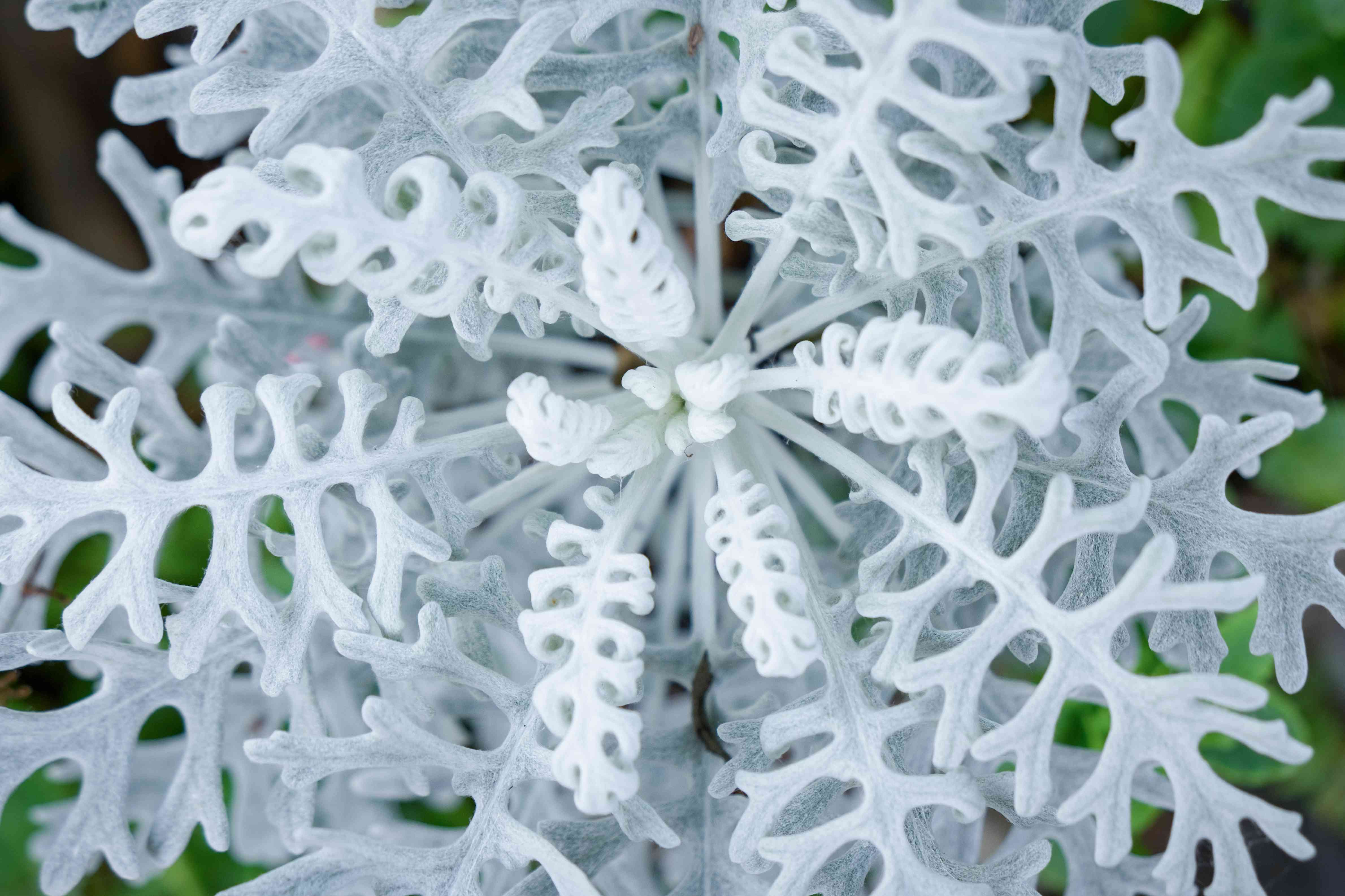 Top view of Silver colored dusty miller plant