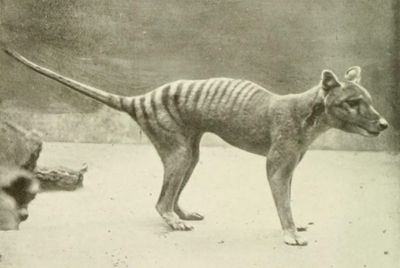 Photo of thylacine