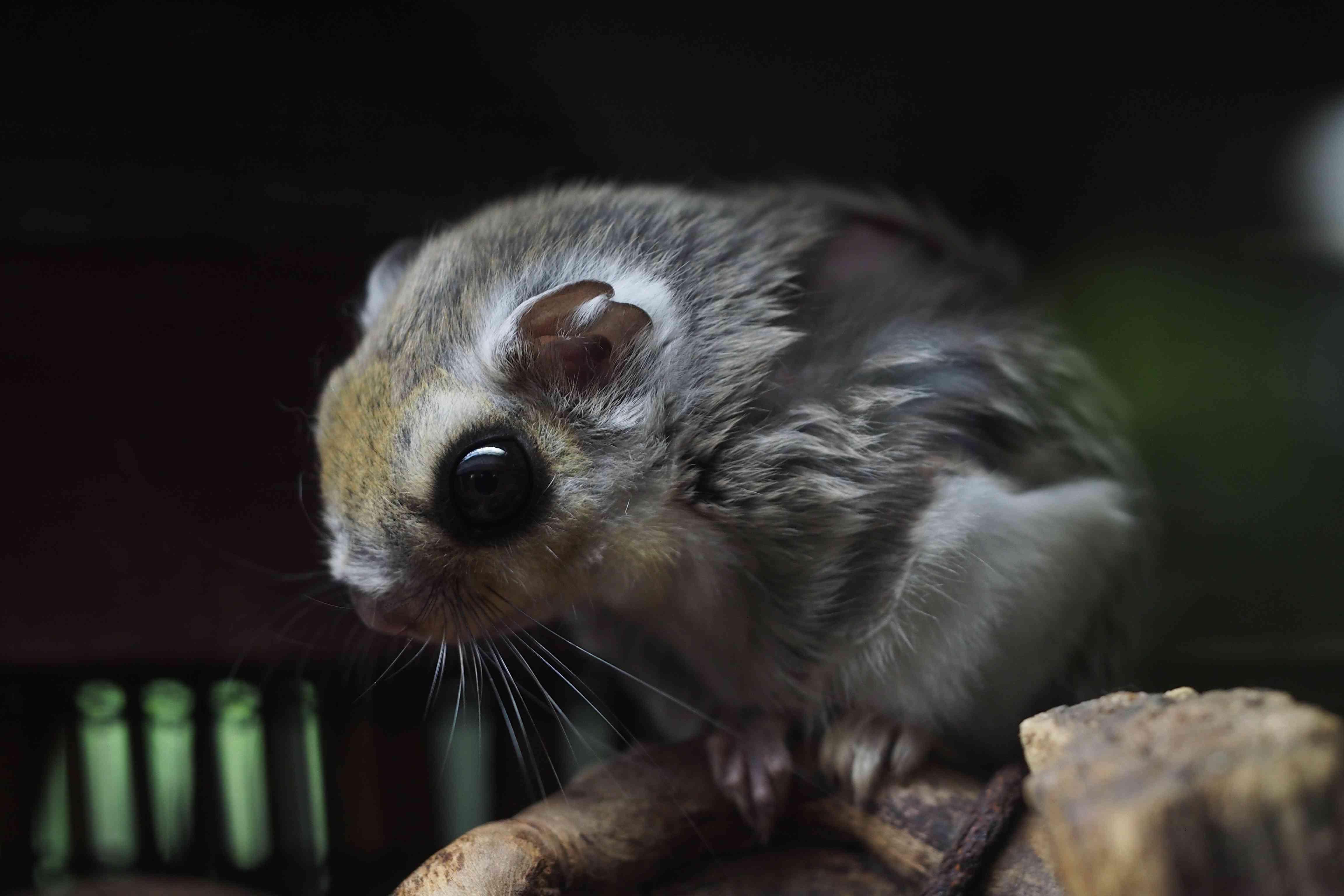 Hokkaido flying squirrel, Pteromys volans orii