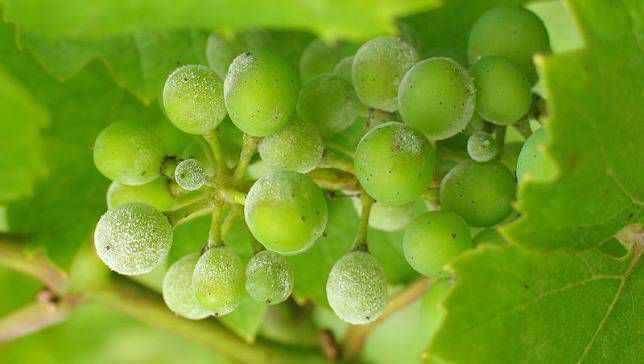 grapes growing with powdery mildew