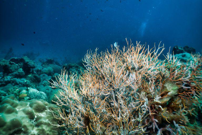 Underwater Ellisella Gorgonian sea fan coral a carbon capture system