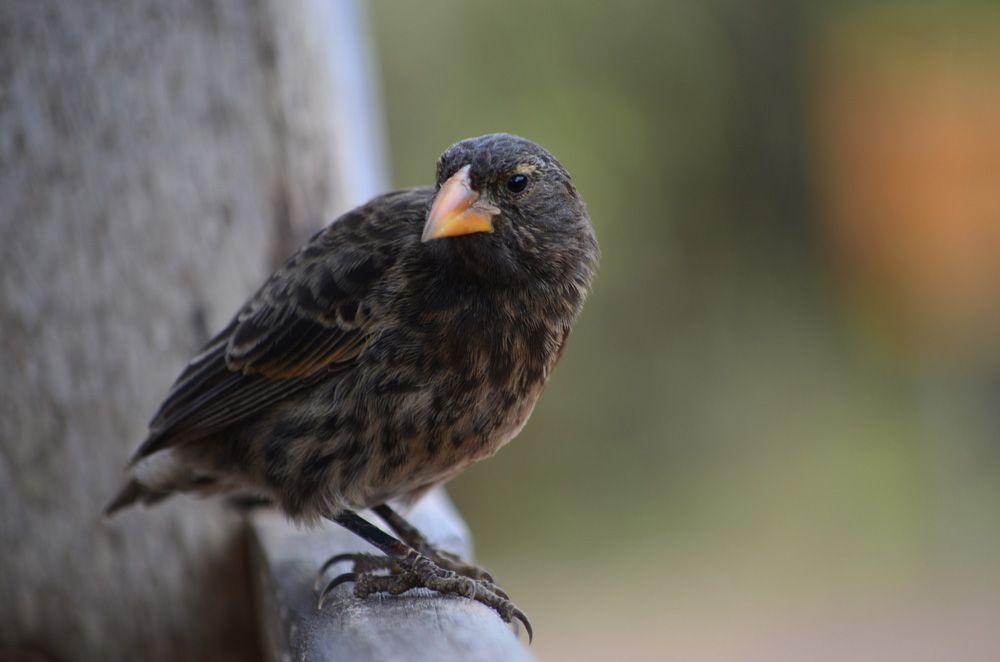 rounded black and grey finch with substantial orange beak and tiny eyes. Santa Cruz, Galapagos Marine Reserve, Ecuador.