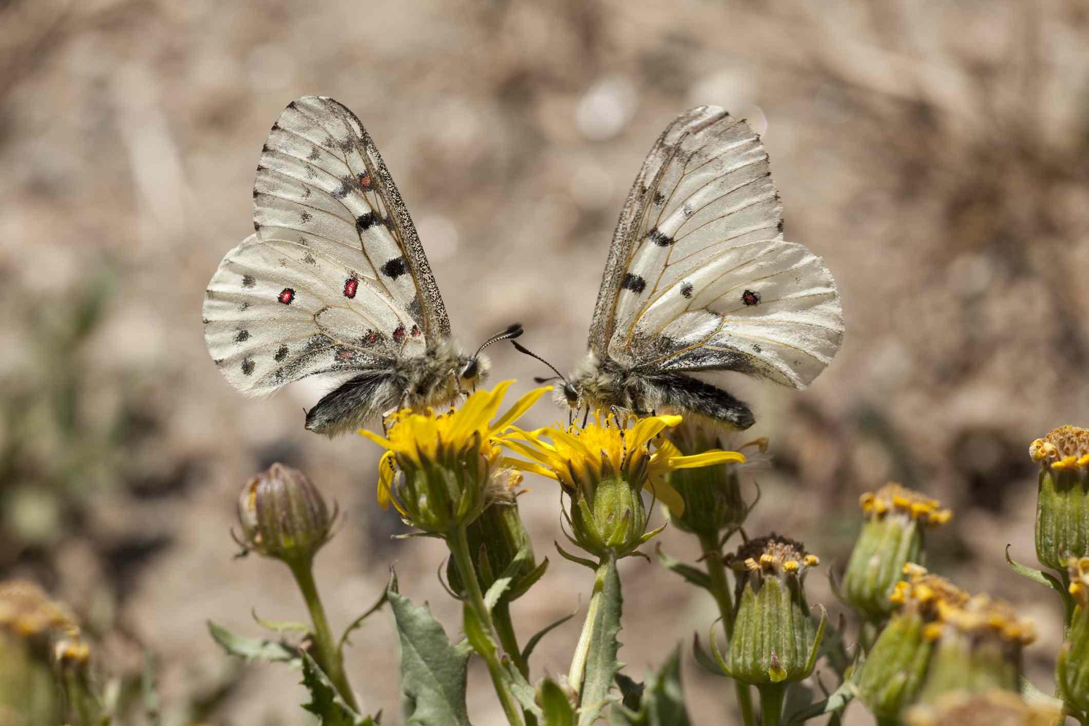 Phoebus parnassian butterflies in Colorado National Park