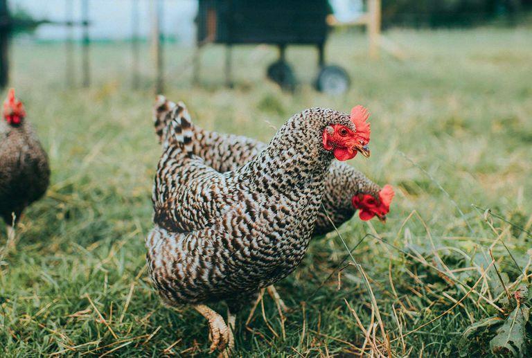 Two pretty chickens in the grass
