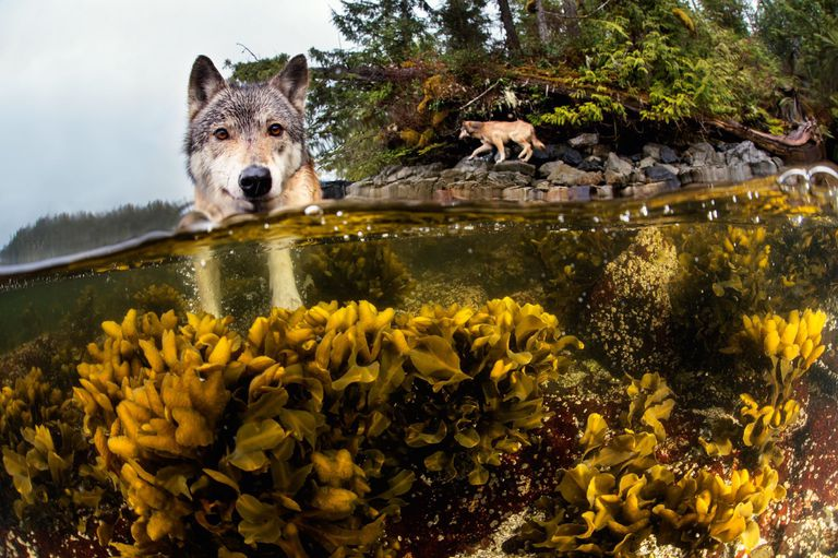 A wolf swims in the water.