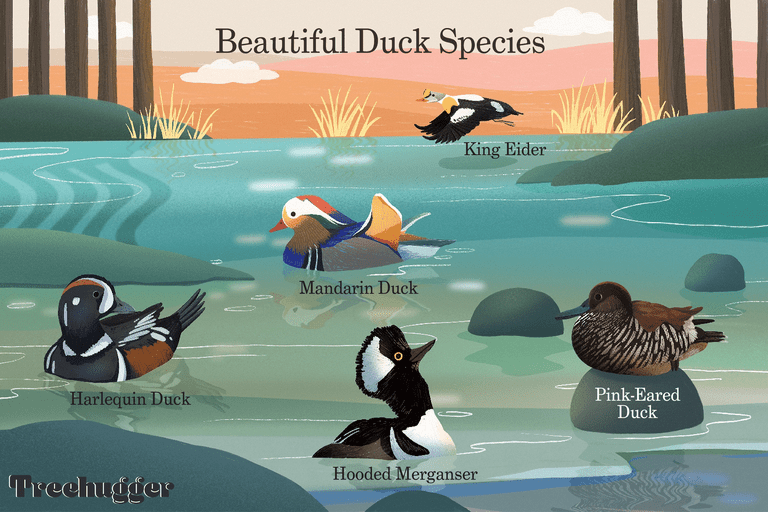 beautiful duck species in pond