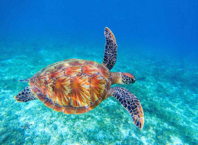 Los científicos capturan las primeras imágenes de una tortuga biofluorescente (video)