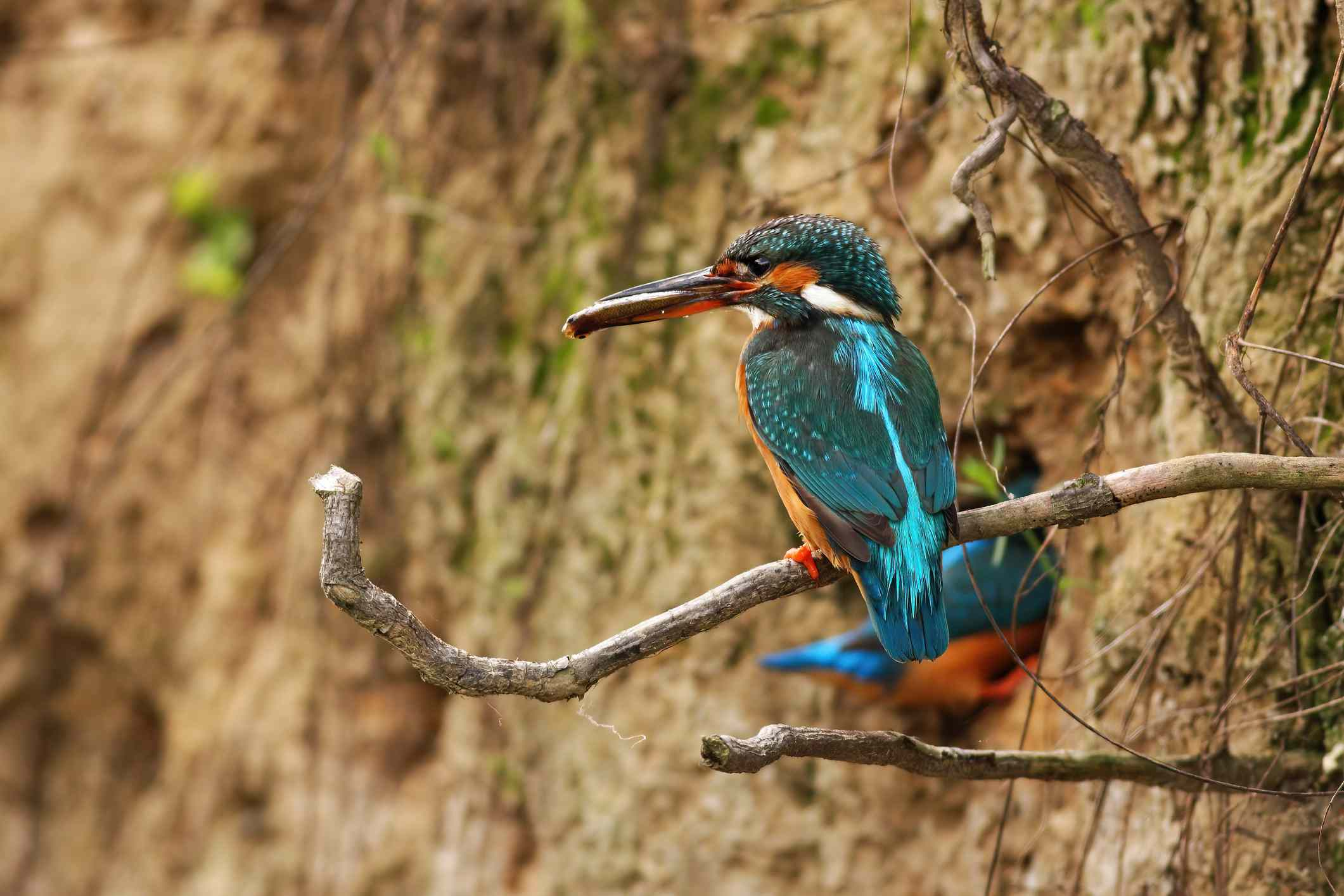 Pair of common kingfisher in breeding season digging a den in riverbank