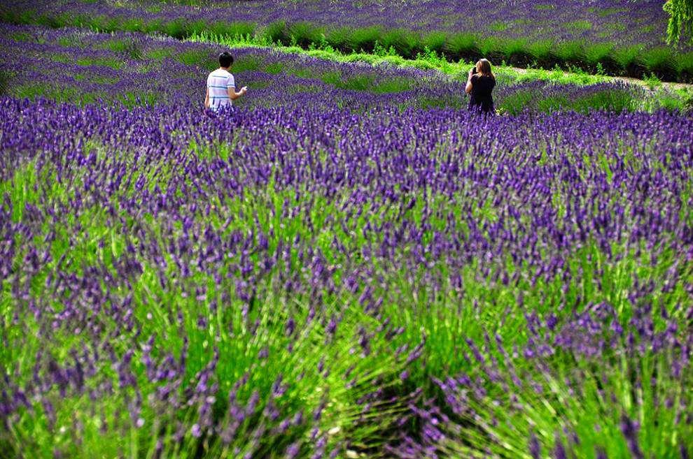 Lavender Capital of North America: Tiptoeing through lavender