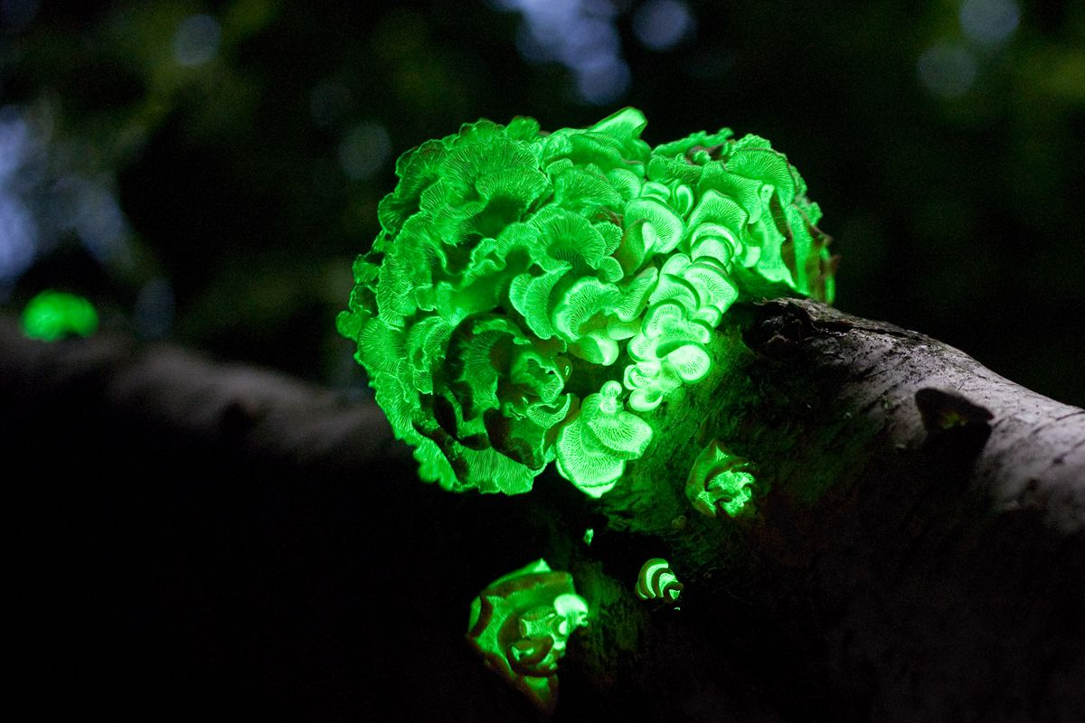 Panellus stipticus mushroom on tree trunk glowing green at night
