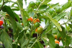 Jerusalem cherry scientific or solanum pseudocapsicum orange berries with green leaves background