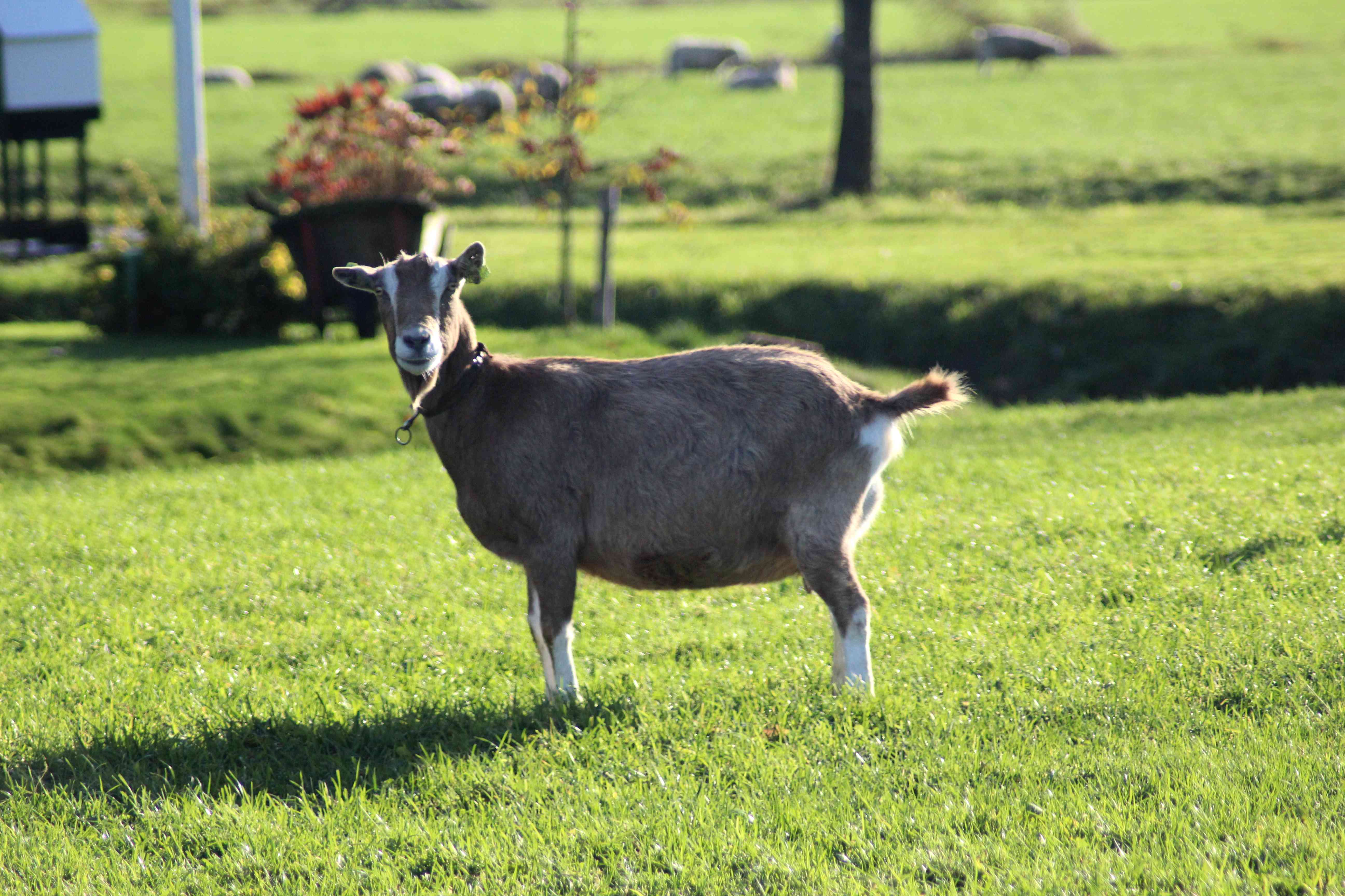 Toggenburger goat standing in a green pasture