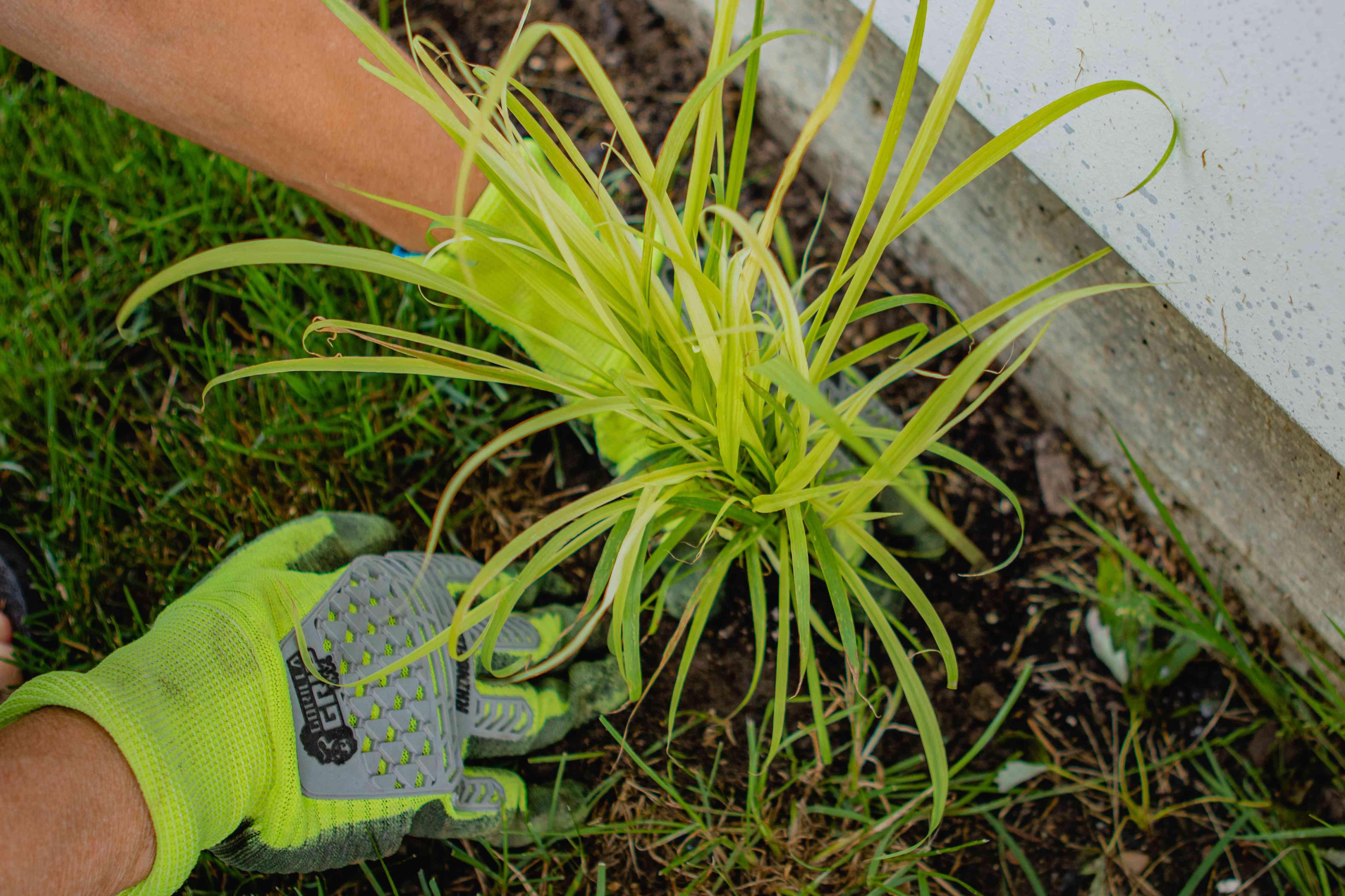 two hands wearing neon gardener's gloves plant lemongrass starter plant in ground